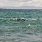 Delfine beim Spiel mit der Welle