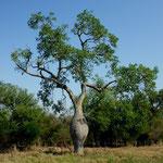 Flaschenbäume - die Überlebenskünstler