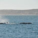 Glattwale zu Besuch beim Morgenessen