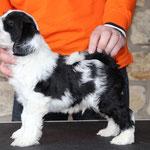 Woche 7_Tibet Terrier Welpe of Dog's Wisdom_2015_Rüde_E' Yuh-Mooh 01