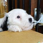 Woche 7_Tibet Terrier Welpen of Dog's Wisdom_2015 05