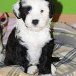 Woche 7_Tibet Terrier Welpe of Dog's Wisdom_2015_Rüde_E' Reeh-Kooh 01