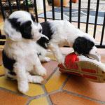 Woche 7_Tibet Terrier Welpen of Dog's Wisdom_2015 13
