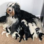 Tibet Terrier Welpen of Dog's Wisdom_2015_4 Woche 02