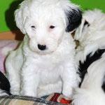Woche 7_Tibet Terrier Welpe of Dog's Wisdom_2015_Hündin No 2_E' Lot-Taah 04