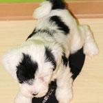 Woche 7_Tibet Terrier Welpe of Dog's Wisdom_2015_Rüde_E' Ho-Shi-Kooh 05