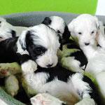 Woche 6_Tibet Terrier Welpen of Dog's Wisdom_2015 06