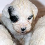 Tibet Terrier Welpen of Dog's Wisdom_2015_4 Woche 06