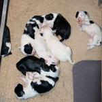 welpen_e-wurf of dogs wisdom_2015_2 woche_tibet terrier 05