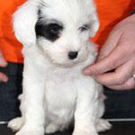 Woche 7_Tibet Terrier Welpe of Dog's Wisdom_2015_Hündin No 1_E' Shi-Kaah 04