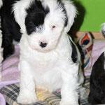 Woche 7_Tibet Terrier Welpe of Dog's Wisdom_2015_Rüde_E' Ho-Shi-Kooh 04