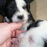 5 Woche 05_Tibet Terrier Welpen of Dog's Wisdom_2015