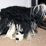Tibet Terrier Welpen of Dog's Wisdom_2015_4 Woche 03