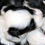 Tibet Terrier Welpen of Dog's Wisdom_2015_4 Woche 09