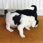 5 Woche 02_Tibet Terrier Welpen of Dog's Wisdom_2015