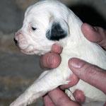 Hündin Black Ear 01_3 Woche_E-Wurf of Dog's Wisdom