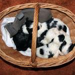 Tibet Terrier Welpen of Dog's Wisdom_2015_4 Woche 01