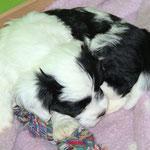 Woche 7_Tibet Terrier Welpe of Dog's Wisdom_2015_Rüde_E' Yuh-Mooh 04