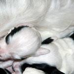 welpen_e-wurf of dogs wisdom_2015_2 woche_tibet terrier 21