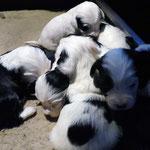 welpen_e-wurf of dogs wisdom_2015_3 woche_tibet terrier 01