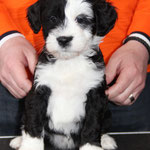 Woche 7_Tibet Terrier Welpe of Dog's Wisdom_2015_Hündin No 4_E' Leeh-Ci-Aah 04