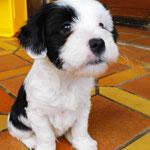 Woche 7_Tibet Terrier Welpen of Dog's Wisdom_2015 09