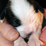 Rüde 1_E-Wurf of Dog's Wisdom_01|2015_weiss-schwarz_2 schwarze Ohren