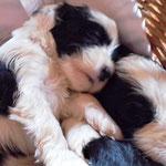 Woche 6_Tibet Terrier Welpen of Dog's Wisdom_2015 01
