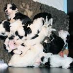 Tibet Terrier Welpen of Dog's Wisdom_2015_4 Woche 12