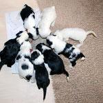 Tibet Terrier Welpen of Dog's Wisdom_2015_4 Woche 04