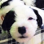 Woche 6_Tibet Terrier Welpen of Dog's Wisdom_2015 09