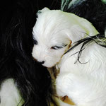 Woche 6_Tibet Terrier Welpen of Dog's Wisdom_2015 08