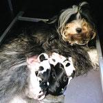 e-wurf of dogs wisdom_2015_1 woche_tibet terrier welpen 01