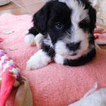 Woche 7_Tibet Terrier Welpen of Dog's Wisdom_2015 08
