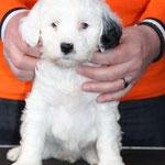 Woche 7_Tibet Terrier Welpe of Dog's Wisdom_2015_Hündin No 2_E' Lot-Taah 05