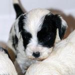 Tibet Terrier Welpen of Dog's Wisdom_2015_4 Woche 05