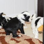 5 Woche 03_Tibet Terrier Welpen of Dog's Wisdom_2015