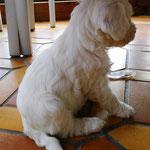 Woche 7_Tibet Terrier Welpen of Dog's Wisdom_2015 11