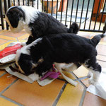 Woche 7_Tibet Terrier Welpen of Dog's Wisdom_2015 04