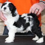 Woche 7_Tibet Terrier Welpe of Dog's Wisdom_2015_Rüde_E' Yuh-Mooh 03