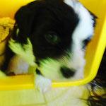 Woche 6_Tibet Terrier Welpen of Dog's Wisdom_2015 16