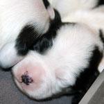 welpen_e-wurf of dogs wisdom_2015_2 woche_tibet terrier 14