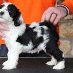Woche 7_Tibet Terrier Welpe of Dog's Wisdom_2015_Rüde_E' Yuh-Mooh 02