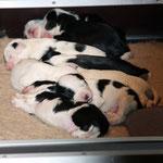 welpen_e-wurf of dogs wisdom_2015_2 woche_tibet terrier 12