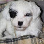 Woche 7_Tibet Terrier Welpe of Dog's Wisdom_2015_Hündin No 1_E' Shi-Kaah 02