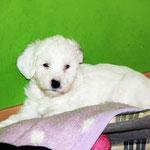 Woche 7_Tibet Terrier Welpe of Dog's Wisdom_2015_Hündin No 2_E' Lot-Taah 02