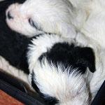 Tibet Terrier Welpen of Dog's Wisdom_2015_4 Woche 11