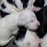welpen_e-wurf of dogs wisdom_2015_3 woche_tibet terrier 02