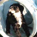 Tibet Terrier of Dog´s Wisdom | Welpe