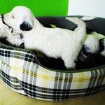 Woche 6_Tibet Terrier Welpen of Dog's Wisdom_2015 03